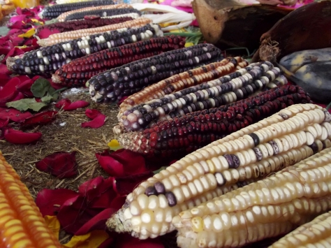 Native varieties of Mexican corn