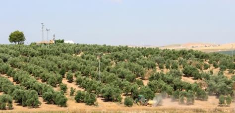 Tractor in the olive groves at El Humoso co-operative farm near Marinaleda